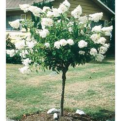 shop 5 5 gallon white peegee hydrangea tree l9285 at