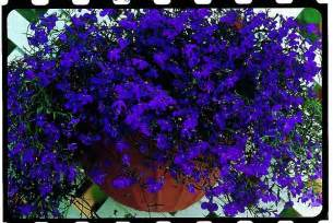 Spring Bedding Lobelia Pendula Regatta Midnight Blue