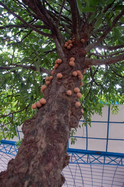Bibit Pohon Coklat bibit kepel jual bibit tanaman buah hias hutan