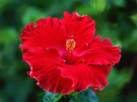 fiori significato ibisco significato fiori