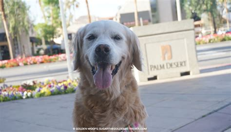 palm desert puppies 7 ways to enjoy friendly palm springs golden woofs