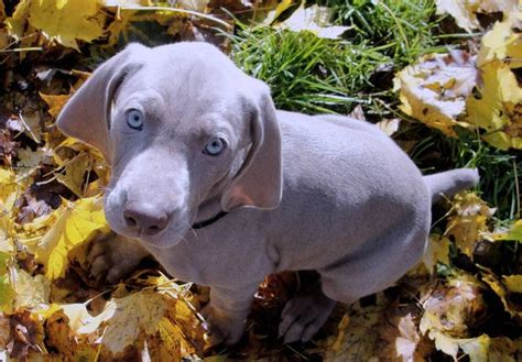 free puppies vancouver wa akc weimaraner pups for sale adoption from vancouver washington clark adpost