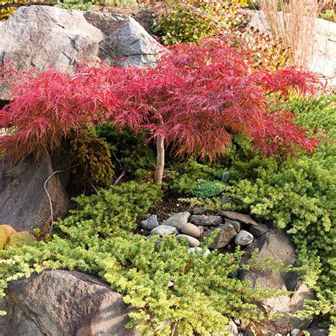 maple tree growing conditions types of maple trees