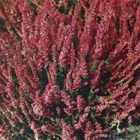 fiore erica calluna vulgaris erica domande e risposte fiori