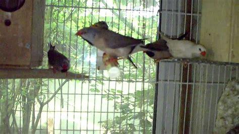 zebra finch housing shaft tail finches breeding youtube