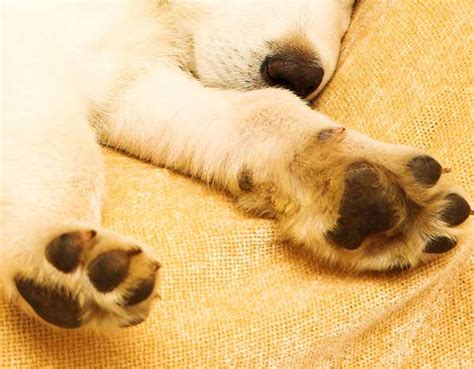 why dogs paws why is springtime for sore paws housemydog