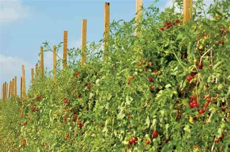 Backyard Tomatoes by Breed The Best Tomatoes