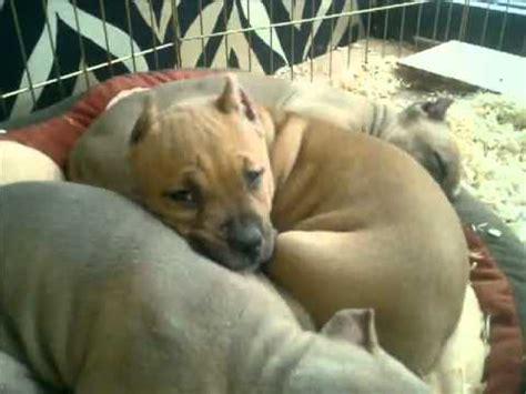 akc pitbull puppies for sale blue nose pitbull puppies for sale ukc adba abkc akc