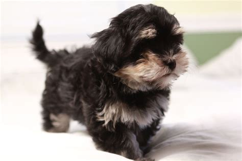 havanese breed temperament havanese dogs personality and behavior breeders guide