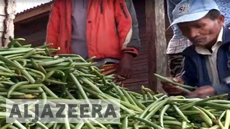 Vanilla Al Jazeera madagascar s vanilla growers are in trouble