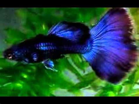 Guppy Blue Moscow Promo moscow blue guppy aquarium fishes for sale mumbai
