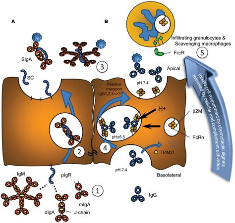 j protein immunoglobulins frontiers antibodies and their receptors different