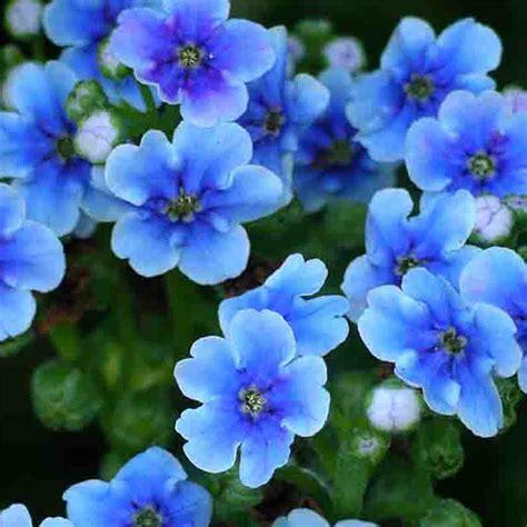 nontiscordardime fiore non ti scordar di me silviadeifiori
