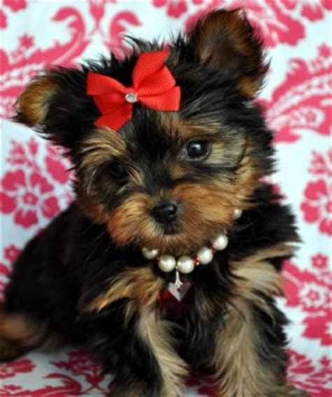 teacup yorkie rescue ct micro pocket teacup yorkie for adoption text 208 266 7525