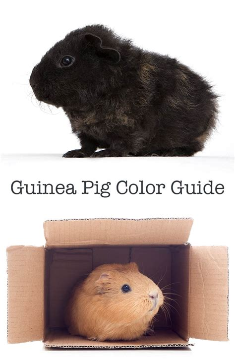 guinea pig colors a complete guide to guinea pig colors with photos