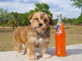 puppies for sale in fort myers morkie puppies for sale in florida mix breed terrier maltese fort myers