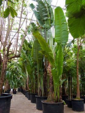 Zimmerpflanzen Bestellen 799 by Gro 223 Pflanzen K 252 Belpflanzen Terrapalme Heim Und Gartenshop