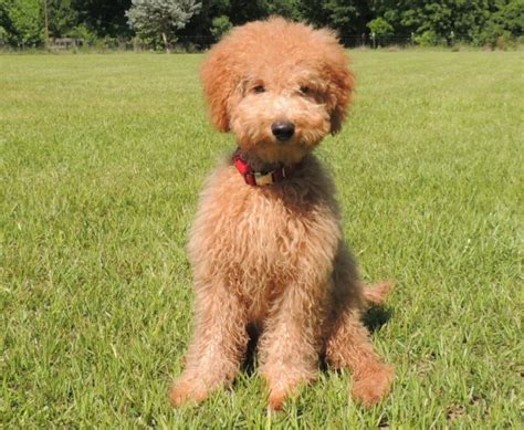 mini doodle florida teddy goldendoodle puppies black models picture