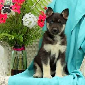 siberian husky puppies for sale in ny siberian husky puppies for sale in de md ny nj philly dc and baltimore auto design tech