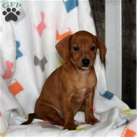 chiweenie puppies for sale in pa chiweenie puppies for sale in de md ny nj philly dc and baltimore