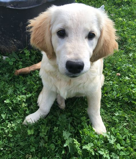 golden retriever puppies for sale in bc golden retriever puppies boston lincolnshire