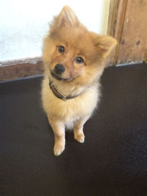 pomeranian breeders south west stunning pomeranian puppy for sale south west pets4homes