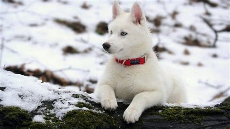 white puppy breeds white breeds your best friend now with added snow camouflage