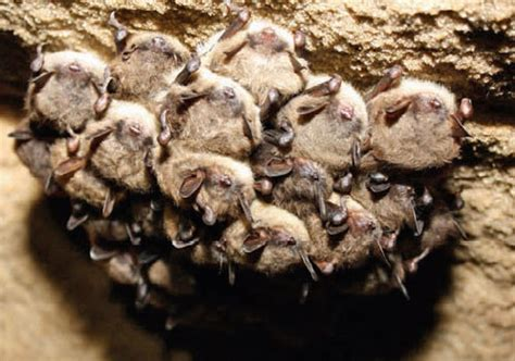 wisconsin s imperiled bats audio