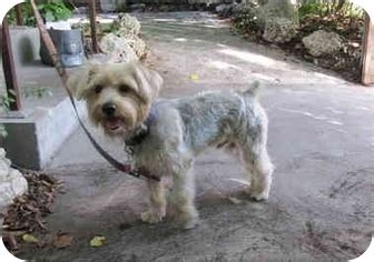silky terrier yorkie mix pic of silky haired yorkie breeds picture