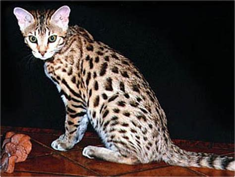 house cats that look like leopards cafechoo image house cat that looks like a leopard