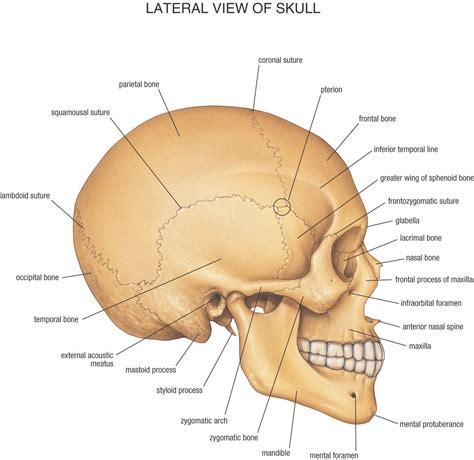 skull anatomy anatomy pictures