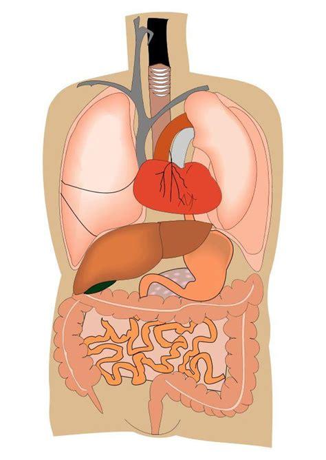 innere organe bilder bild innere organe abb 10692