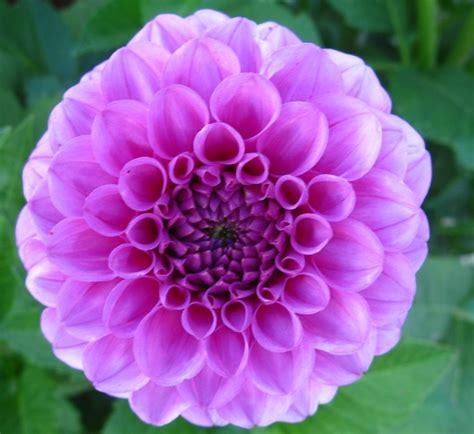 dahlias flower winter protection for dahlias care and