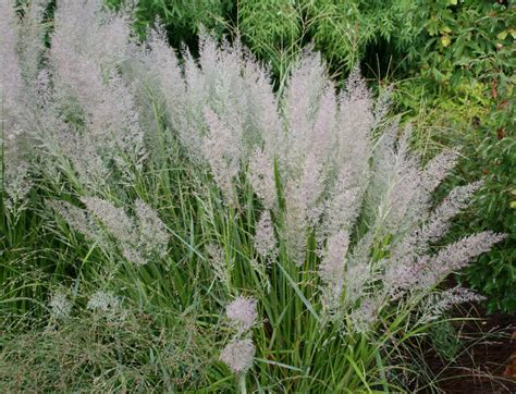 flowers that look like feathers korean feather reed