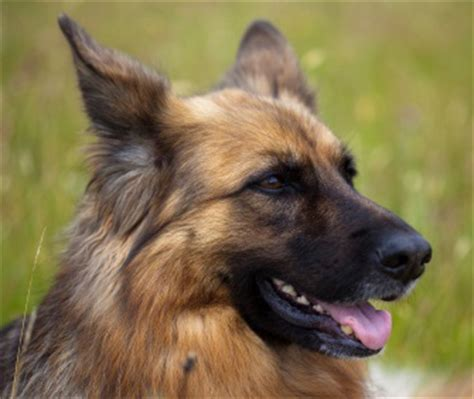 German Shepherd Shedding Solution by