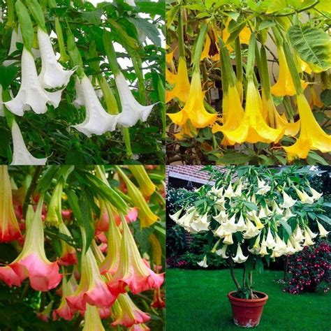 angel trumpet plants brugmansia trumpet plant collection white yellow pink