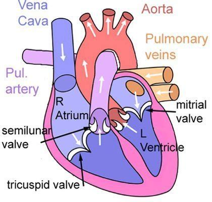 diagram of the valves the and lungs scienceaid