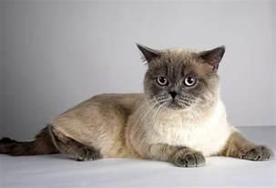the shorthair cat cat breeds encyclopedia