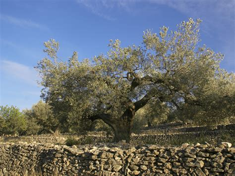 olive tree wallpaper file el perell 243 old olive tree jpg wikimedia commons