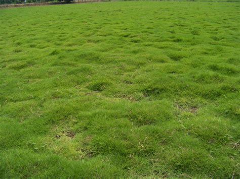 lawn grass turf dhaliwalturfs