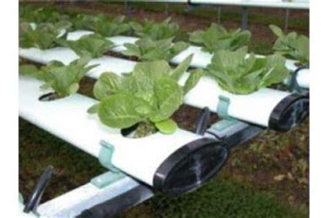 menanam mawar hidroponik cara menanam tanaman dengan media hidroponik by