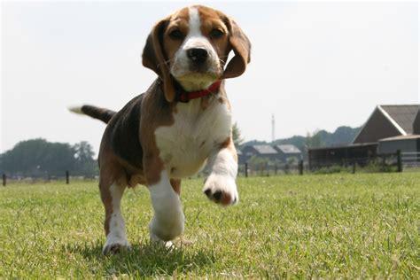 puppy beagles beagle puppy backgrounds wallpaper wallpaper hd background desktop