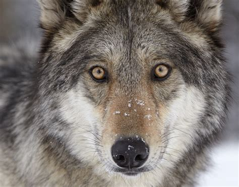Wolf S | howling for wolves wildearth guardians