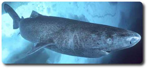 Pacific Sleeper Sharks by Learn All About Sharks Like Pacific Sleeper Sharks Shark