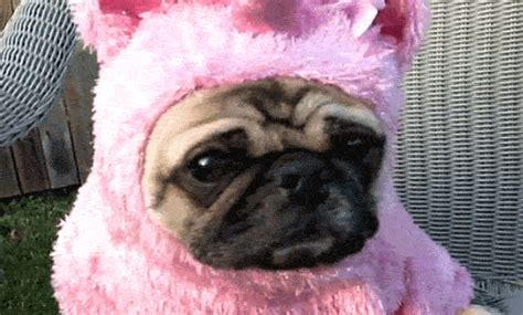 pug in unicorn costume 12 pugs that got not treated on huffpost