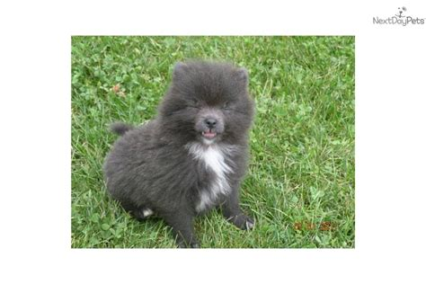 pomeranian husky puppies for sale in mn pomeranian husky mix puppies for sale in mn pomeranian husky mix image breeds