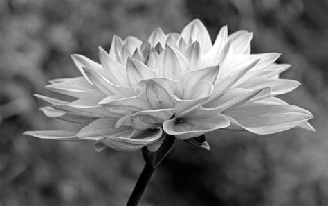 White Photographer black and white photographs of flowers gallery flower