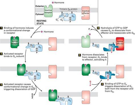 g protein pathway biology 3302 gt srikanth gt flashcards gt test2 studyblue