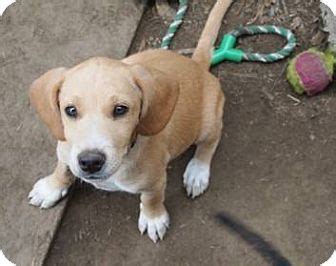 speeddogs hounds and puppies co thi để anh thiết kế 1 con cai ten beagle foxhound ảnh đay images frompo
