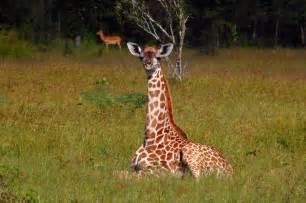 150 Meters To Miles giraffe